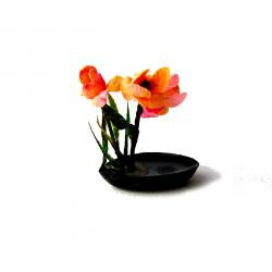 Iris rosa